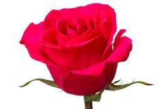 Rose de la sangría del color en blanco Foto de archivo