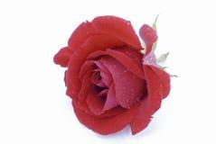 Rose de la tarjeta del día de San Valentín foto de archivo