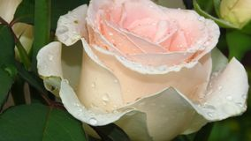 Rose de marfil completamente abierta, hojas del verde y troncos largos imágenes de archivo libres de regalías