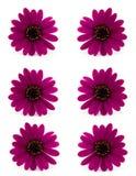rose de marguerite Image libre de droits