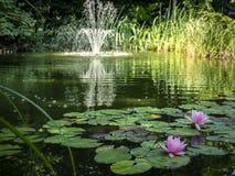 ` Rose de Marliacea Rosea de ` de deux nénuphars dans le premier plan de l'étang Fontaine brouillée de cascade à l'arrière-plan photographie stock