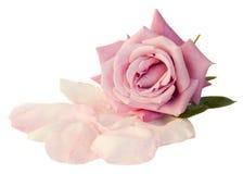 Rose de mauve avec des pétales Images stock