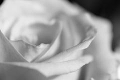 Rose de monochrome Image libre de droits