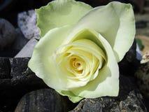 Rose de nouveaux débuts Images stock