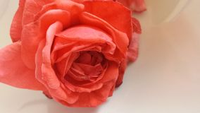 Rose de peinture photos stock