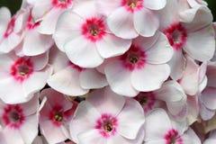 Rose de phlox Photo libre de droits