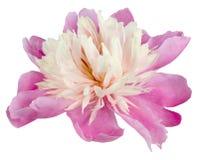 Rose de pivoine Image stock