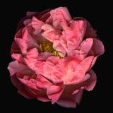 rose de pivoine de fleur de fleur Photographie stock libre de droits