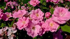 Rose de plusieurs roses en couleurs s'épanouissant comme développer banque de vidéos