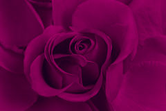 Rose de pourpre Image stock
