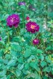 Rose de pourpre dans le jardin Images stock