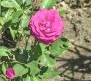 Rose de pourpre dans le jardin Photo stock