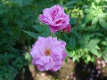 Rose de pourpre, Rose Garden tropicale Photographie stock