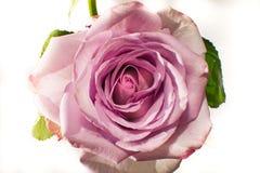 Rose de pourpre sur le fond blanc Image stock