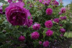 Rose de pourpre sur un buisson vert Image stock