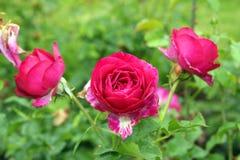 Rose After de Regens Stock Afbeeldingen