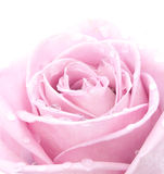 Rose de rose Image stock