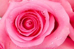 Rose de rose Photos stock