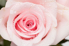 Rose de rose Photos libres de droits