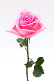 Rose de rose Photo libre de droits