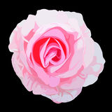 Rose de rose Photographie stock libre de droits