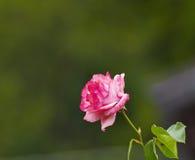 Rose de rose Images libres de droits