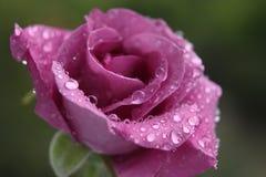 Rose de rose Image libre de droits