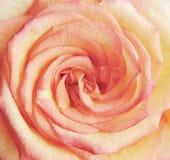 Rose de rose Images stock
