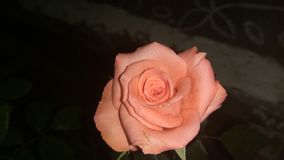 Rose de rose Photo libre de droits