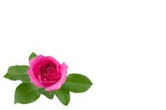 Rose de rose avec des feuilles de vert d'isolement sur le blanc Photographie stock