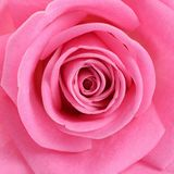 Rose de rose comme fond Photo libre de droits