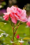 Rose de rose couverte dans des baisses de l'eau Images libres de droits
