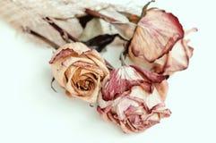 Rose de rose d'effacement Photo stock