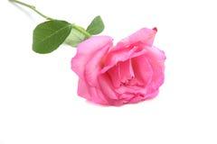 Rose de rose d'isolement à l'arrière-plan blanc Photo stock