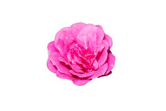 Rose de rose d'isolement sur le blanc Photo libre de droits