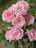 Rose de rose dans le jardin, Floribunda Photos stock