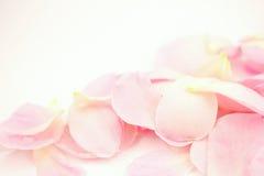 Rose de rose dans le style doux de couleur et de tache floue Images stock