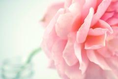 Rose de rose dans le style doux de couleur et de tache floue Image stock