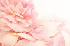 Rose de rose dans le style doux de couleur et de tache floue Photo stock