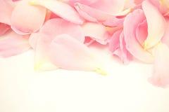 Rose de rose dans le style doux de couleur et de tache floue Photo libre de droits