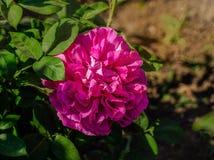 Rose de rose dans une fin de jardin  Images libres de droits