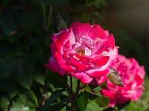 Rose de rose dans une fin de jardin  Photos stock