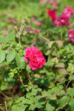 Rose de rose de culture dans un petit jardin Photo stock
