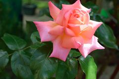 Rose de rose de pêche Image libre de droits