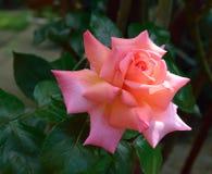 Rose de rose de pêche Photographie stock libre de droits