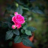 Rose de rose en nature sur le fond vert Ressort Image stock
