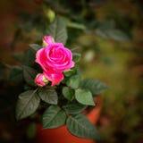 Rose de rose en nature sur le fond vert Ressort Images libres de droits