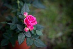 Rose de rose en nature sur le fond vert Ressort Images stock
