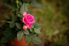 Rose de rose en nature sur le fond vert Ressort Photos stock