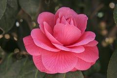 Rose de rose en parc Image stock